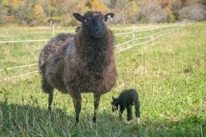 Monkey & ewe lamb