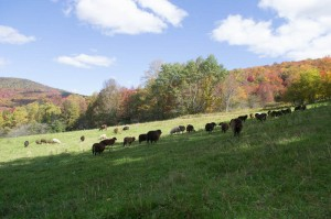 Fall grazing on the upper pasture