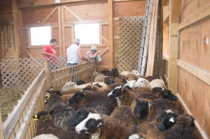 Getting ready for shearing