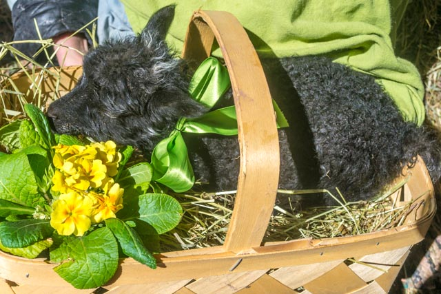Easter Lamb 2